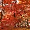 銀杏×紅葉