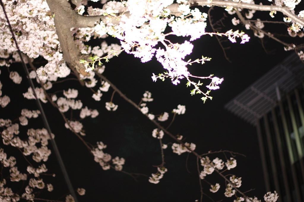 夜桜@midtown