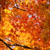 空に広がる紅葉