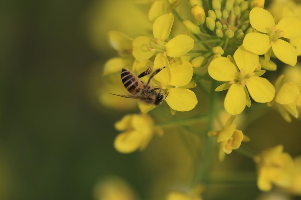 ミツバチ@菜の花