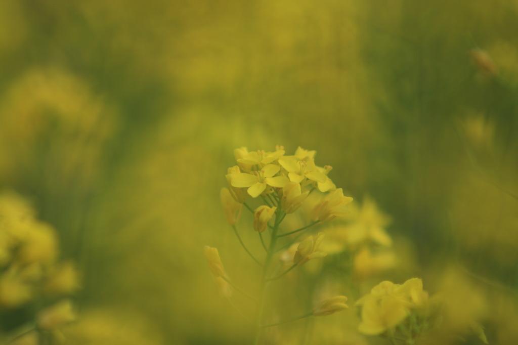 菜の花の中の菜の花