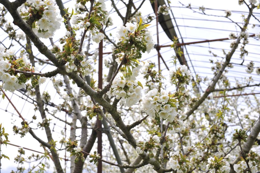 Cherry blossom ???