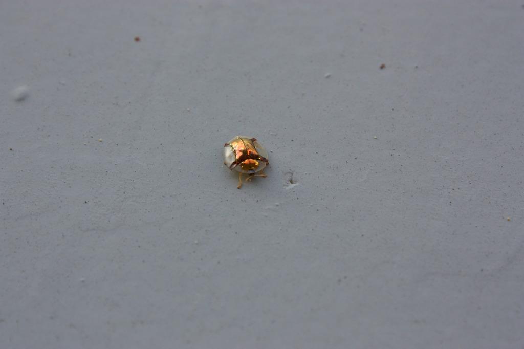 コンタクトレンズみたいな虫?