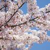 神戸北野の桜
