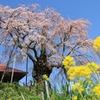 福島県 滝桜の近くの不動桜