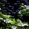紫陽花爛漫