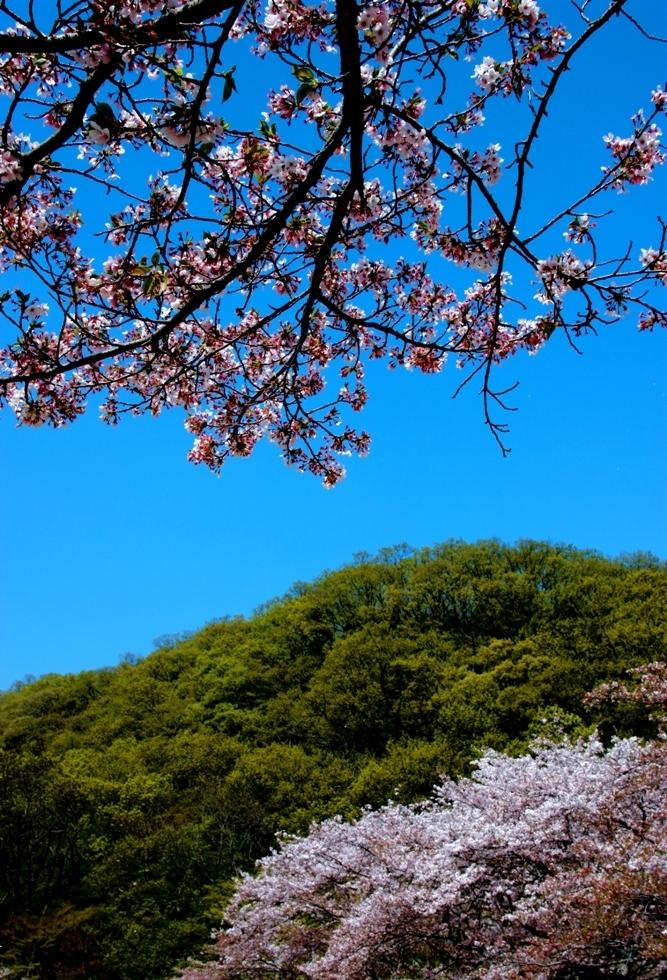 Himeji-sakura