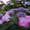 梅雨の晴れ間の紫陽花VOL.3