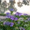 梅雨の晴れ間の紫陽花