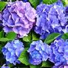 紫陽花季節