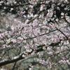 2010桜開花