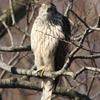 今年初めての猛禽類! オオタカの若鳥?だと思います。
