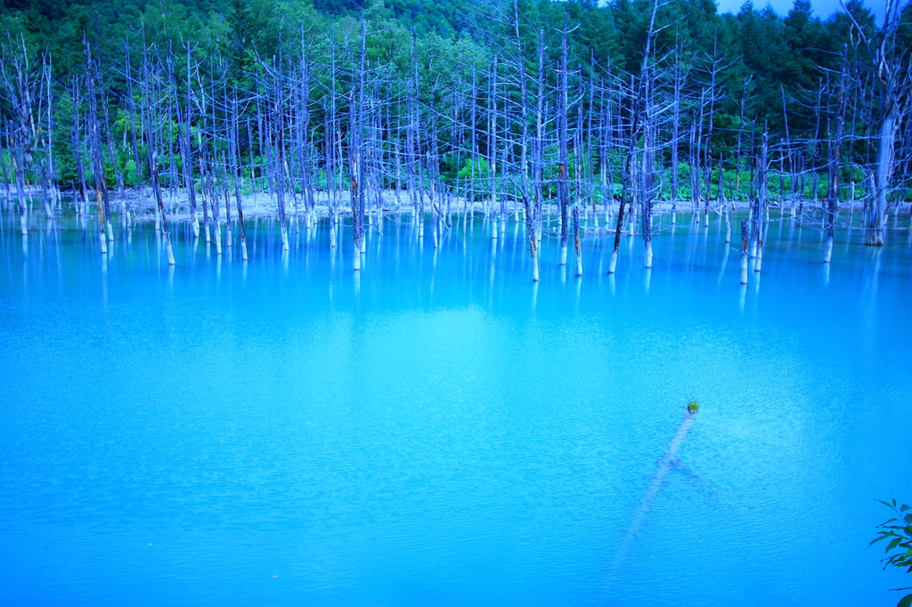美瑛の青池