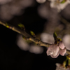 水戸の桜まつり 千波湖畔の桜ライトアップ