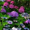 夕暮れの紫陽花#2