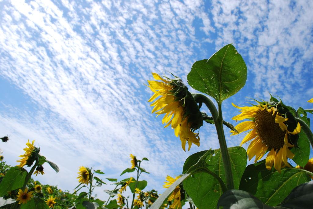 向日葵と鰯雲