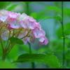 2012紫陽花 04