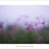 秋 桜 #02