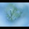 2012紫陽花 03