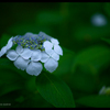 2012紫陽花 20