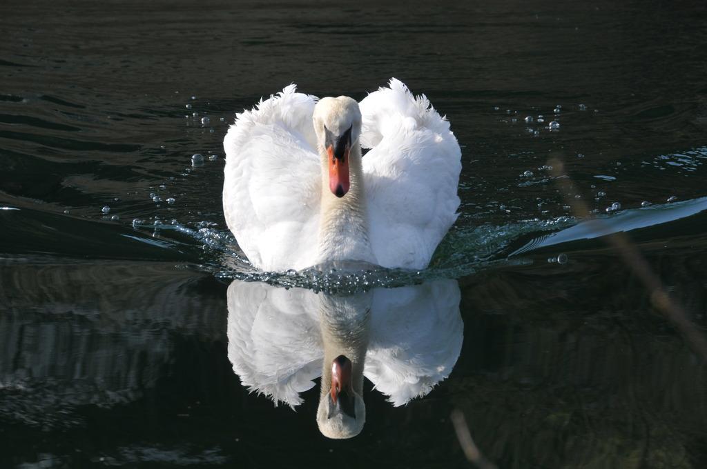 白鳥のいる湖