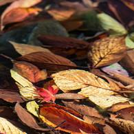 NIKON NIKON D800で撮影した(水中の秋を見つけました(紅葉))の写真(画像)