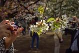 クローズアップ桜2