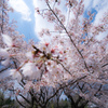 今年最後の桜かなぁ〜