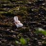 野に咲く桜