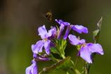 花とミツバチ2