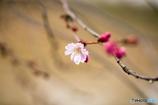 川に流るる寒桜 Ⅱ
