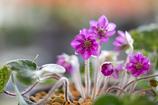 春の訪れ Ⅶ(雪割草)