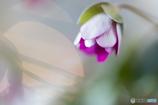 春の訪れⅤ(雪割草)