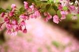 見納めの桜かな