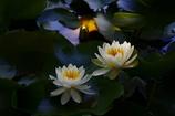 陽の差す蓮池