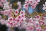 早咲きイチオシ!