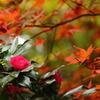 山茶花と紅葉