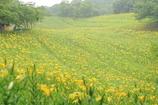 雨に煙る一面の黄色