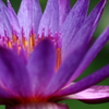 Petal purple