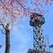 火の見櫓に掛川桜