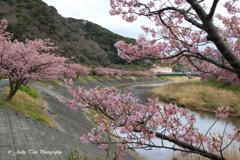 桜が満開だ