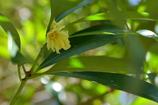 木陰の黄色 シキミ