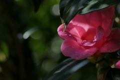葉陰の椿 紅侘助