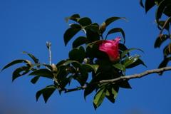 冬空の椿 紅侘助