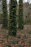 蔦の絡まるフウの木