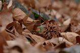 イガイガ・カラカラ フウの木の下