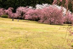 しだれ桜のたけくらべ広場その1