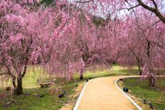 しだれ桜のたけくらべ広場その2