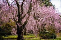 臨峰苑のしだれ桜