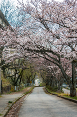 大堰宮の桜